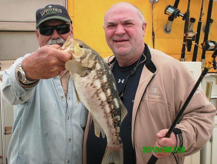 Calico Sea Bass